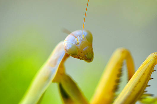 Posing Mantis by Spencer Hughes