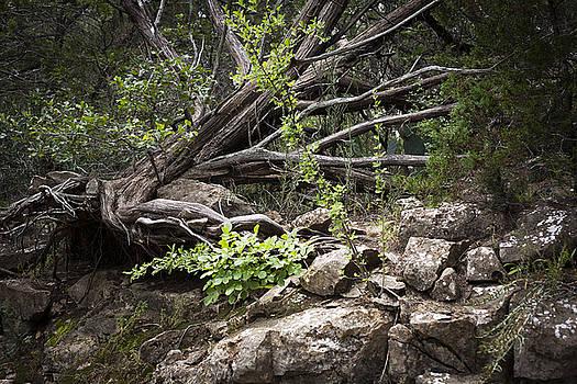 Possum Kingdom Fallen Tree by Jennifer Zandstra
