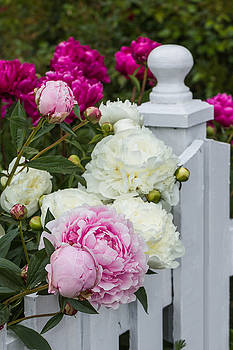 Posted Peonies by Karen Forsyth