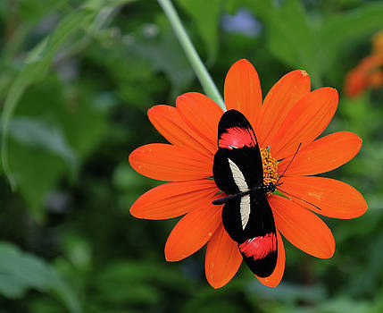 Postman longwing on flower by Ronda Ryan