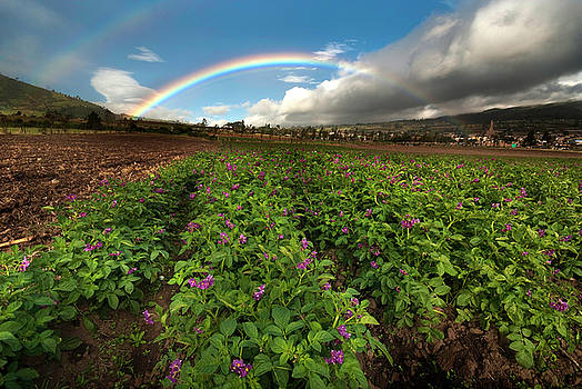 Potato crops.Colombia by Eric Bauer