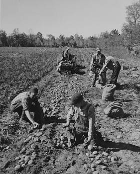 Chicago and North Western Historical Society - Potato Farm at Harvest Time - 1943