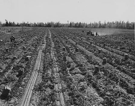 Chicago and North Western Historical Society - Potato Field at Harvest Time - 1943