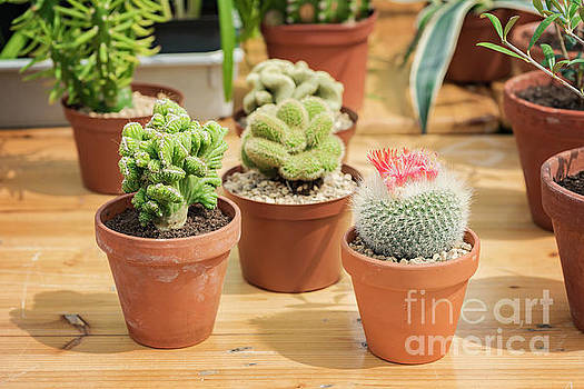 Sophie McAulay - Potted cactus plants