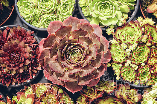 Sophie McAulay - Potted succulents  collection