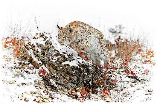 Pouncing Siberian Lynx by Wes and Dotty Weber