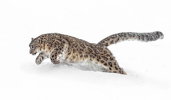 Pouncing Snow Leopard by Wes and Dotty Weber