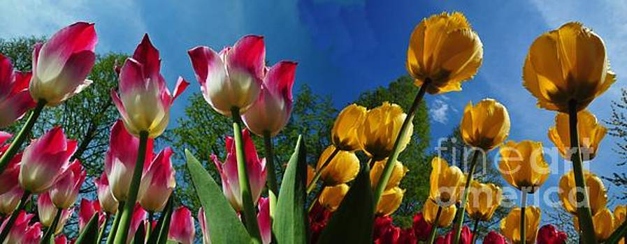 Power of Spring. bugs eye view of Colourful Tulips panorama with clean blue sky contrast. by Akshay Thaker-PhotOvation