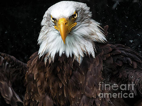 Power of the Eagle by Eyeshine Photography