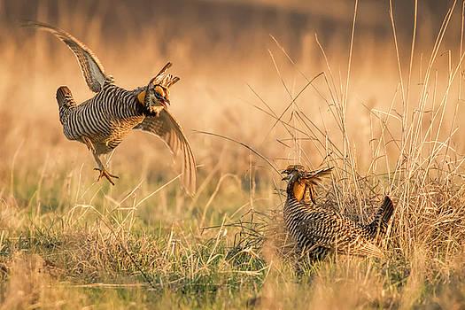 Prairie Chicken Dispute by Scott Bean