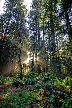 Prairie Creek Redwoods, California by Daniel Danzig