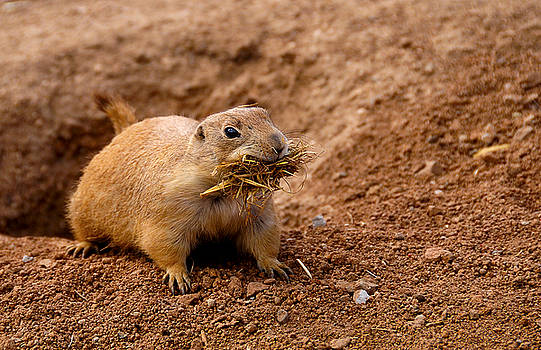 Prairie Dog by Don and Bonnie Fink