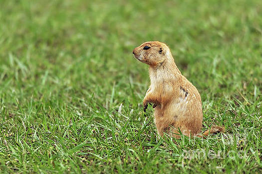 Prairie Dog on the Lookout by Joan McCool