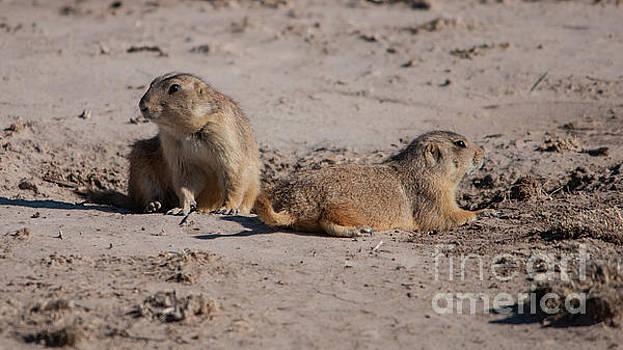Prairie Dogs by John Greco