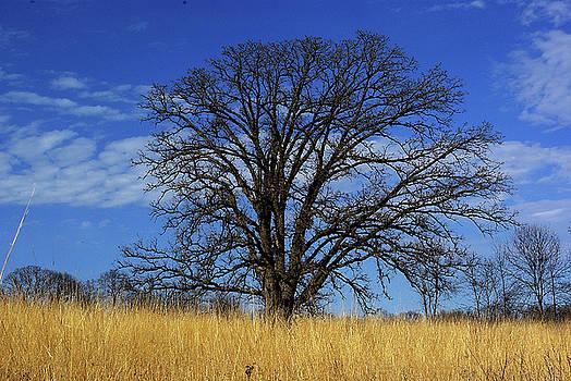 Prairie, savanna oak - blue sky and golden grass by R V James