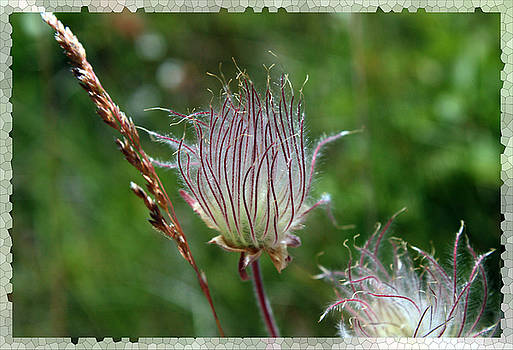 Prairie Smoke by Rick Thiemke