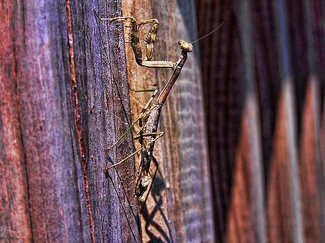 Alexander Butler - Praying Mantis