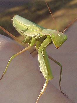 Praying Mantis by Stacey Mead