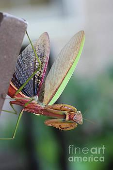 Praying Mantis by Stacey Zimmerman