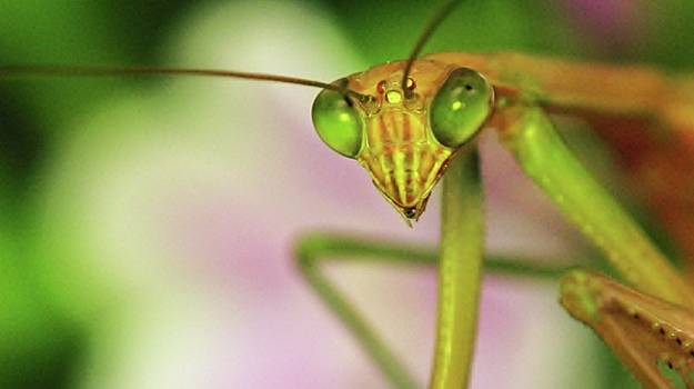 Praying Mantis by Susie DeZarn