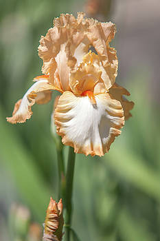 Jenny Rainbow - Precious Halo. The Beauty of Irises