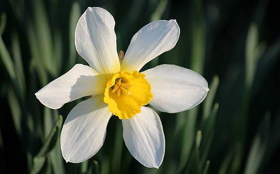 Rosanne Jordan - Precious Spring Daffodil