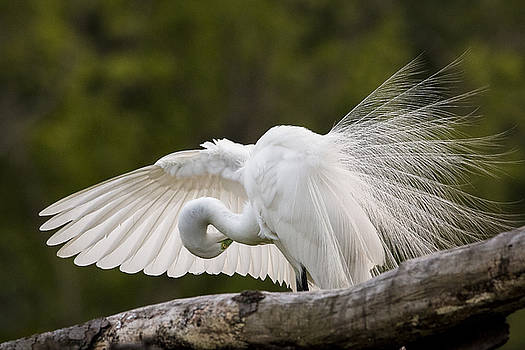 Preening by Jim Miller