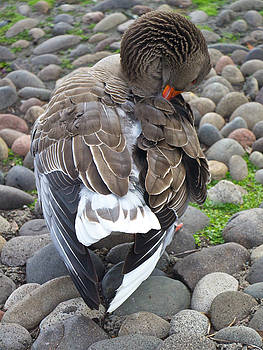 Venetia Featherstone-Witty - Preening Time For A Pomeranian Goose