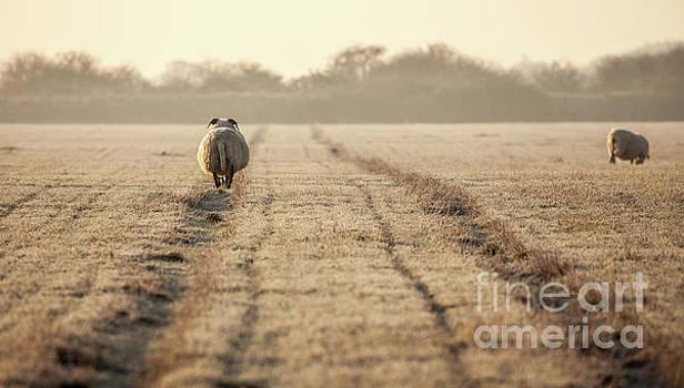 Simon Bratt Photography LRPS - Pregnant sheep walking the track