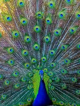 Pretty as a Peacock by Renee Barnes