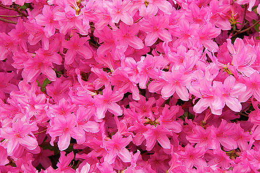 Jill Lang - Pretty Azaleas