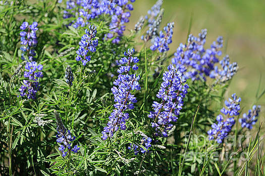Pretty blue flowers of Silky lupine by Louise Heusinkveld