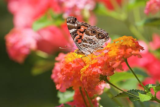 Jill Lang - Pretty Butterfly