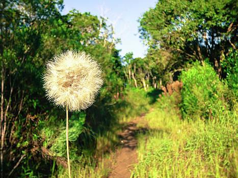Pretty dandelion in the Atlantic forest by Helissa Grundemann