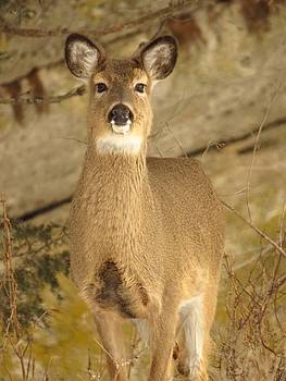 Pretty Deer  by Lori Frisch