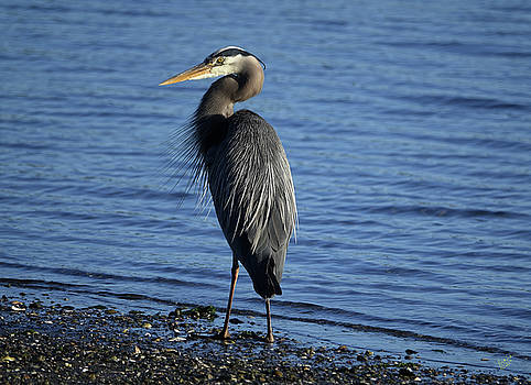 Pretty Heron by Rick Lawler