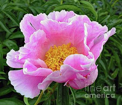 Cindy Treger - Pretty in Pink - Bowl of Beauty Peony