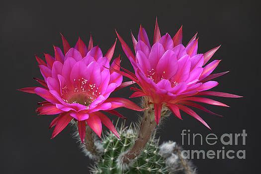 Pretty in pink by Bryan Keil