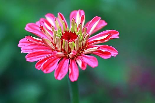 Pretty In Pink  by Carol Montoya