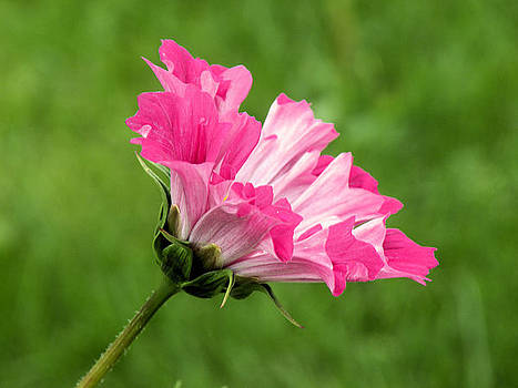 Pretty in Pink by Julie Behm