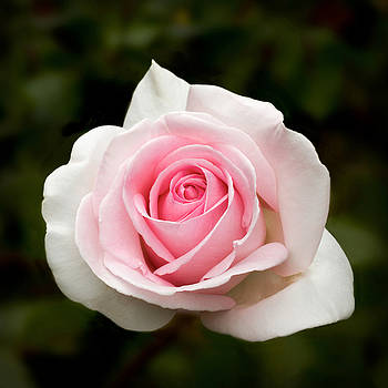 Pretty in Pink Rose by Bonnie Follett