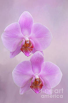 Pretty Light Pink Phalaenopsis Orchids V2 by Judy Whitton
