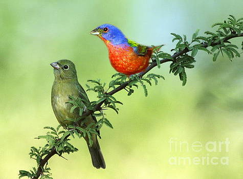 Pretty Painted Buntings Perched by Myrna Bradshaw