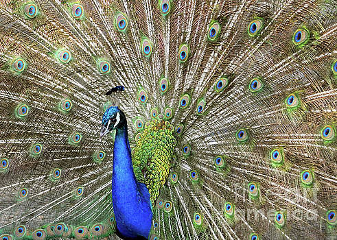 Pretty Peacock 2 by Lydia Holly