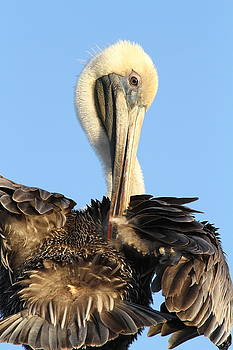 Pretty Pelican by Jim Clark