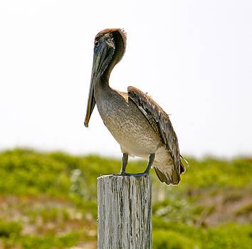 Marilyn Hunt - Pretty Pelican