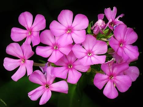 Pretty Pink Prairie Phlox by Lori Frisch