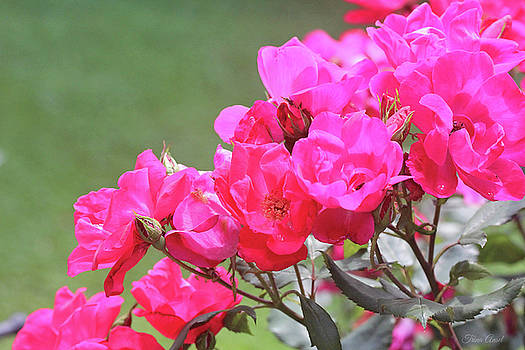 Pretty Pink Roses by Trina Ansel