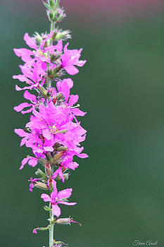 Pretty Purple Loosestrife by Trina Ansel