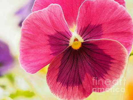 Pretty Purple Pansy 3 by Dorothy Lee